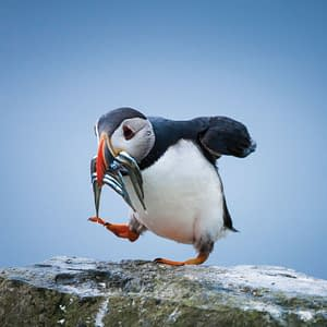 Puffin with sand eels - Poster 0U7W0770