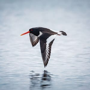 Oystercatcher flying above the water - Poster