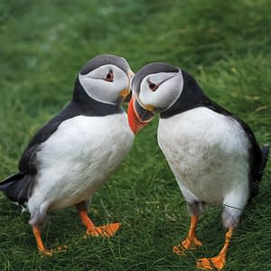 Puffins whispering - Poster 5C4A0205