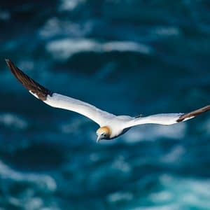 Gannet flying above the ocean - Poster 5D4B1765